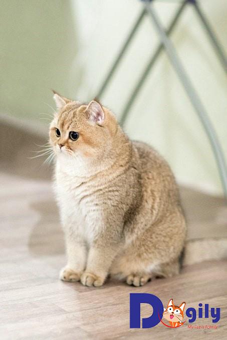 Cần lưu ý gì khi mèo mua mèo Anh lông ngắn aln ?