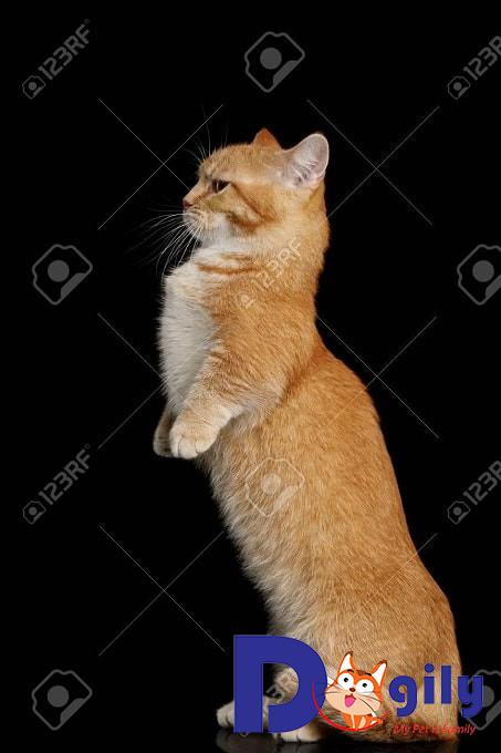 Cần lưu ý gì khi mèo mua mèo chân ngắn Munchkin
