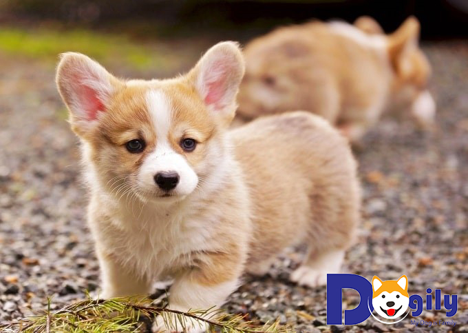 Giá Chó Corgi bao nhiêu tiền tại Petsily Shop Tphm & Hà Nội