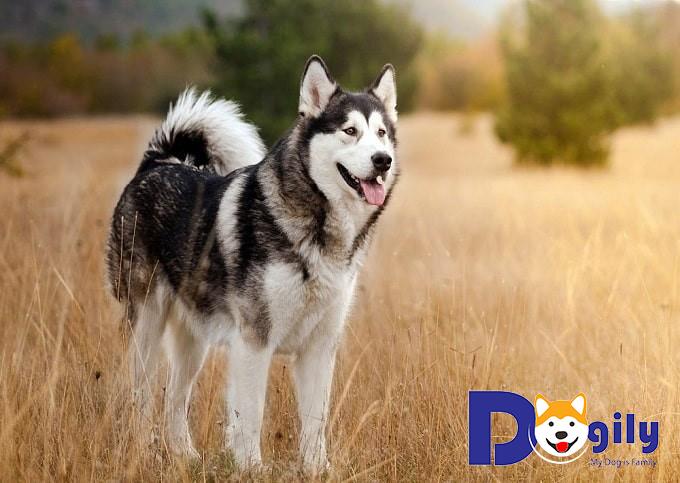 Đặc điểm nổi bật của chó Alaska bạn nên biết