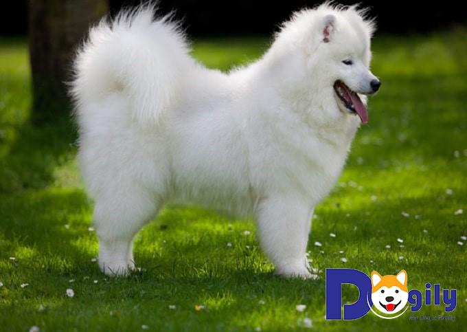 Giới thiệu cơ bản về chó Samoyed