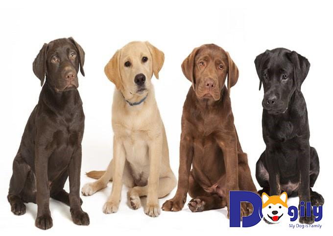 Giới thiệu về chó Labrador