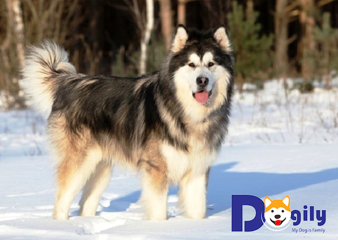 Lý do vì sao nên nuôi chó Alaska