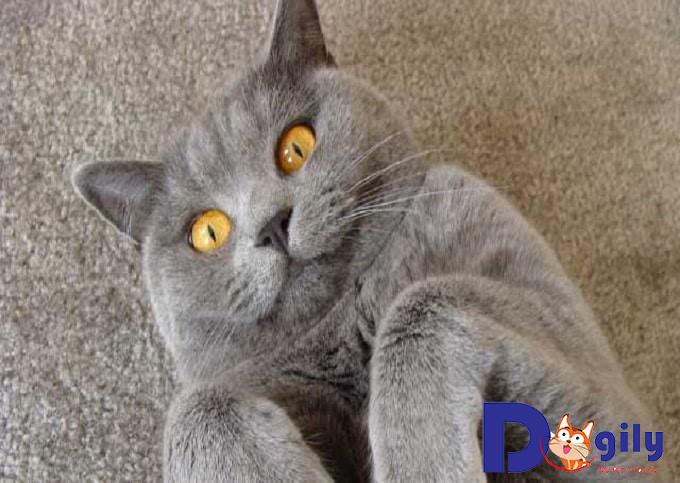 Mèo Anh lông ngắn có những đặc điểm gì nổi bật?