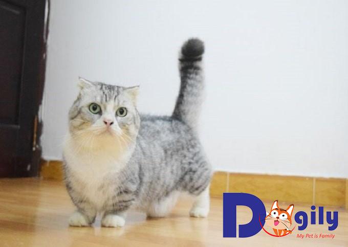 Mèo chân ngắn Munchkin có những đặc điểm gì nổi bật?