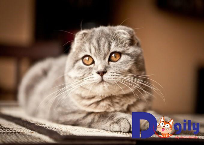Nên mua Mèo tai cụp ở đâu uy tín, chất lượng?