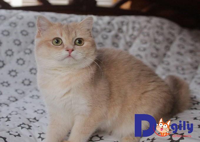 Nên mua mèo Golden ở đâu uy tín, chất lượng?