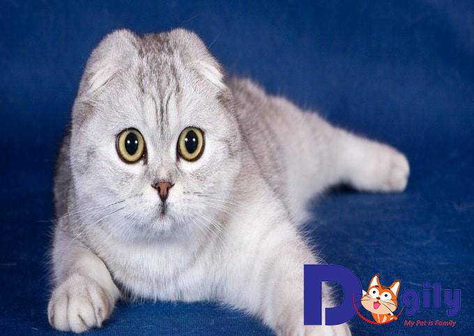 Phân loại giống Mèo tai cụp