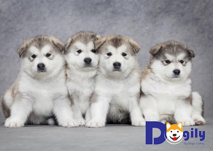 Quyền lợi khi mua chó tại Petsily