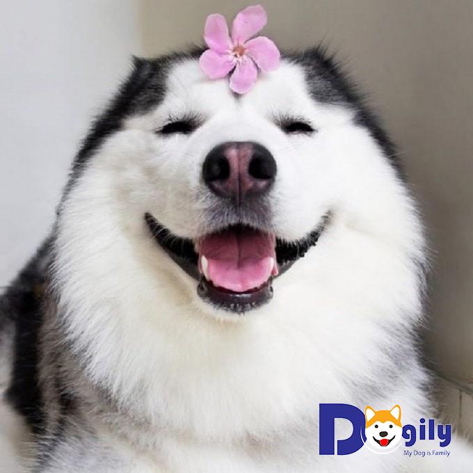 Vài nét giới thiệu về chó Alaska