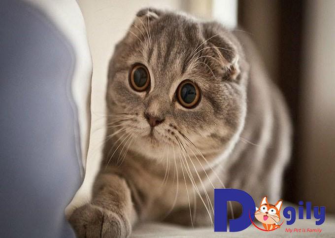 Vài nét về giống Mèo tai cụp bạn nên biết