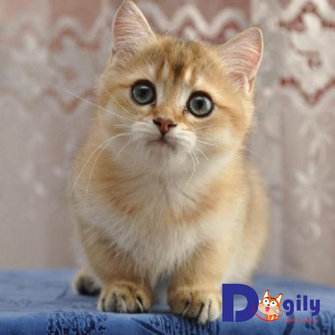 Vài nét về giống mèo Golden bạn nên biết