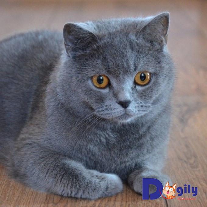 Vì sao chúng ta nên nuôi mèo Anh lông ngắn?