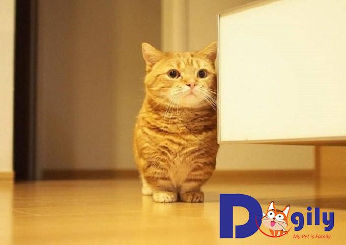 Vì sao chúng ta nên nuôi mèo chân ngắn Munchkin?