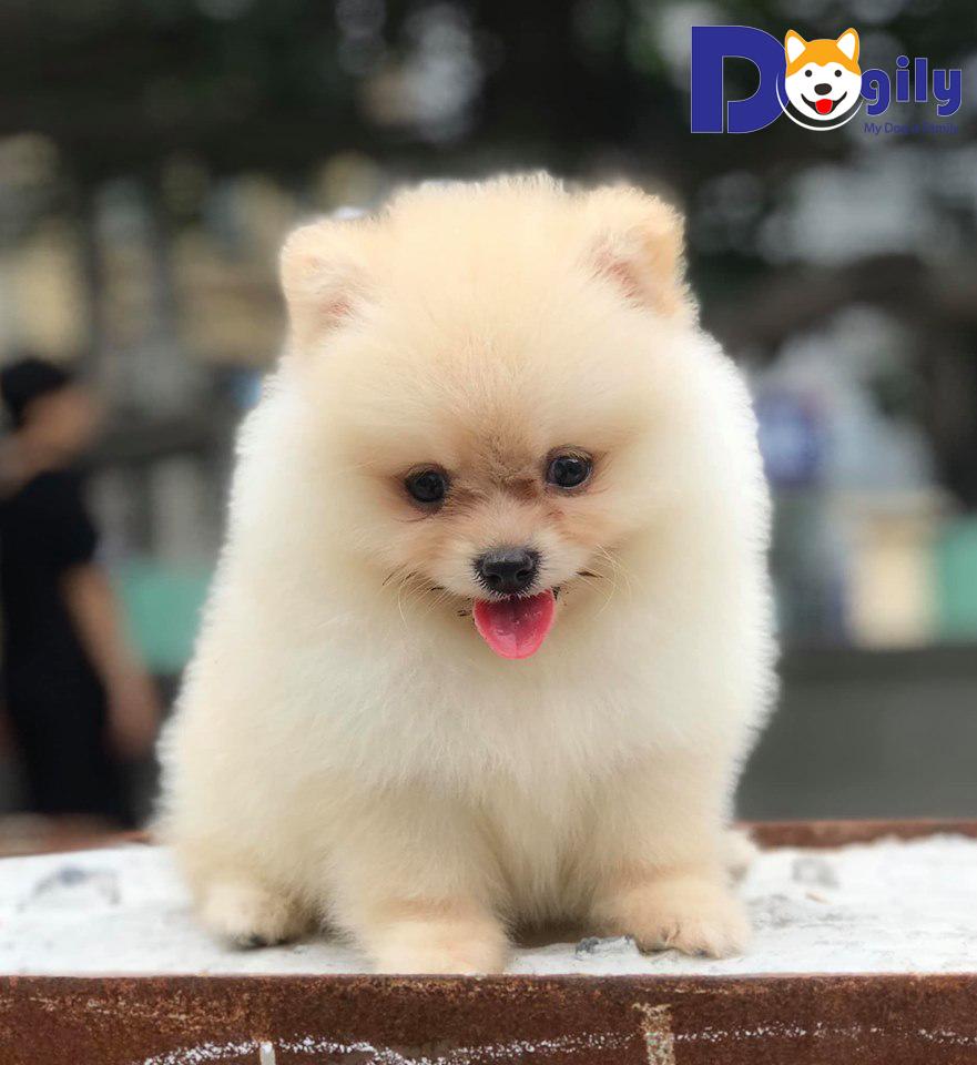 Mở bán chó phốc sóc mặt gấu lông lông vàng trắng xinh đẹp ( MS 82019V )