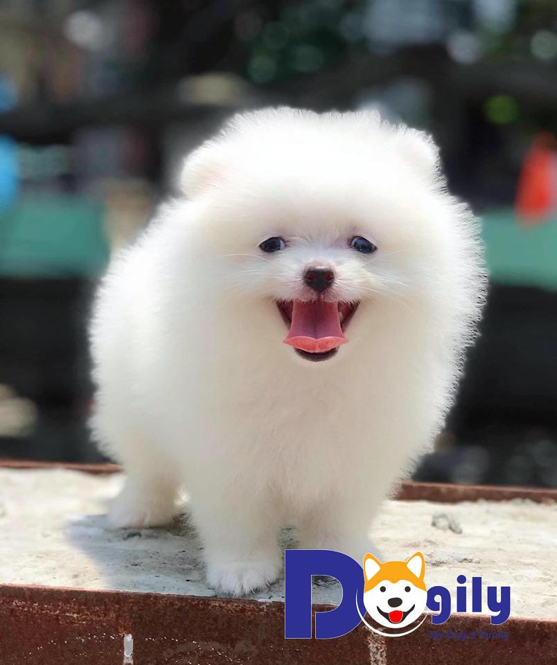 Chó phốc sóc trắng | Mở bán chó phốc sóc trắng cực xinh ( MS : 82019T )