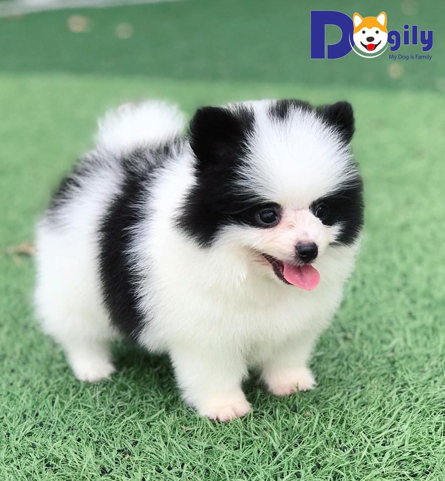 Chó phốc sóc | Bán chó phốc sóc trắng đen tháng 8 ( MS 82019Đ )