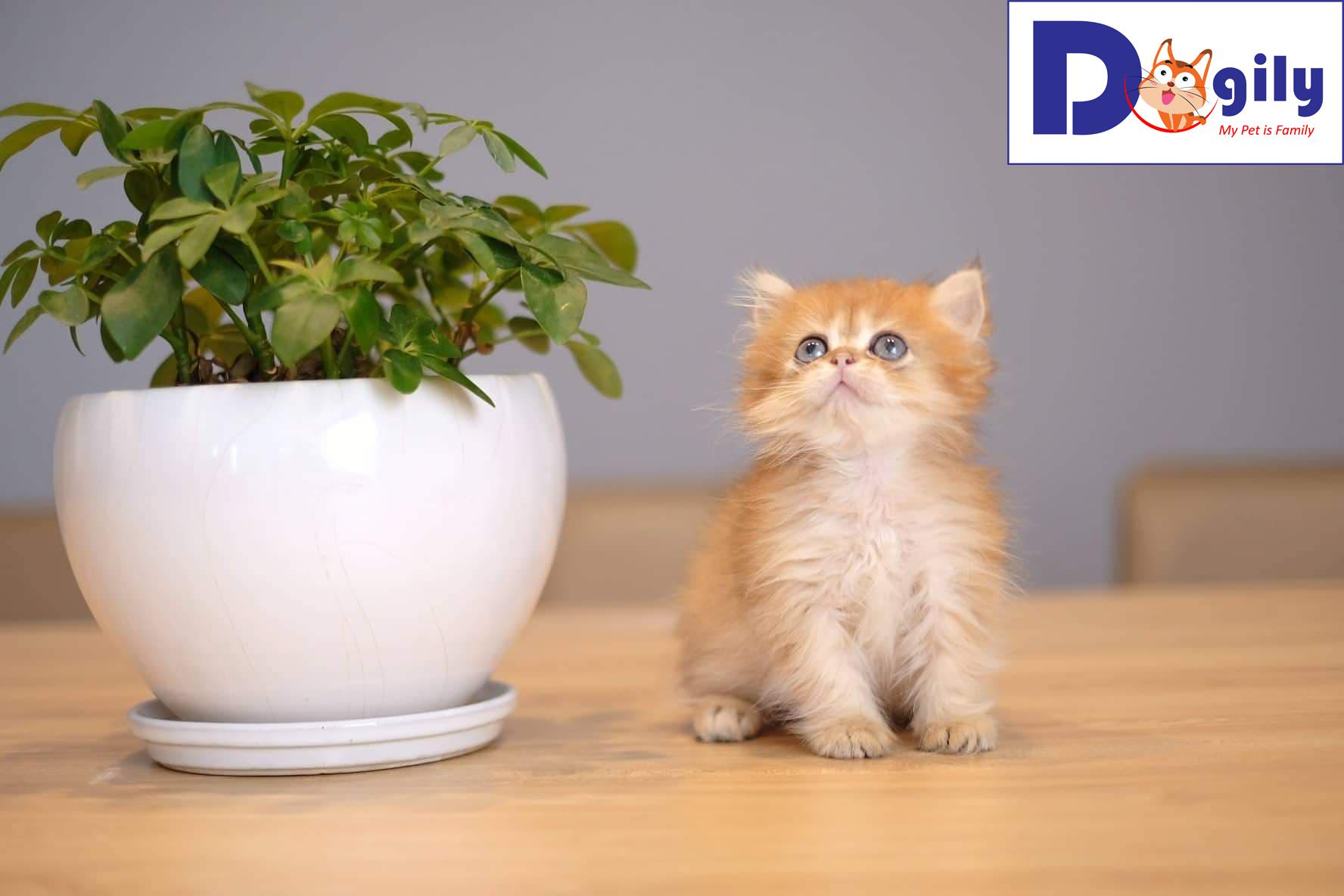 Mở bán mèo Anh lông ngắn Golden 3 tháng tuổi | Bán mèo cảnh cao cấp ( MS: 82119 )