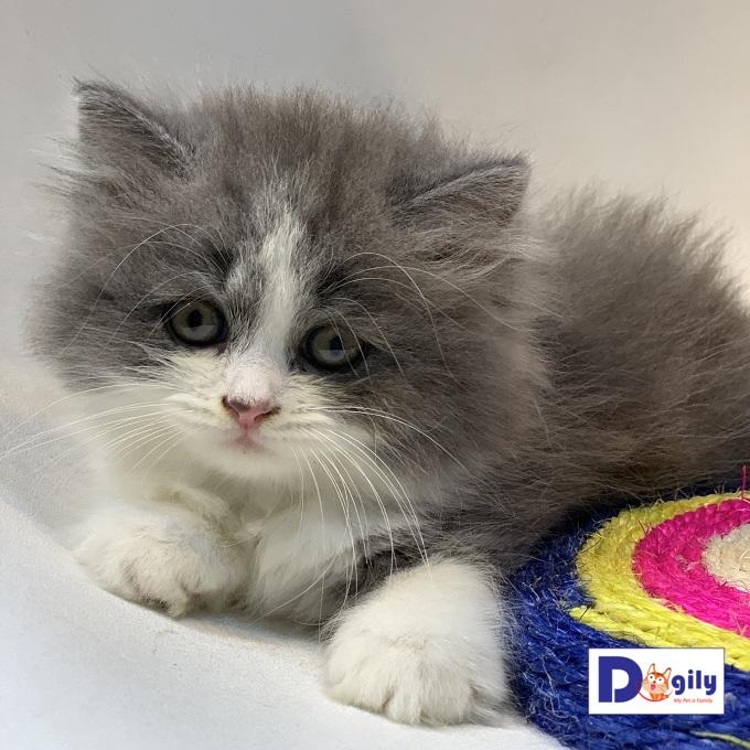 Bán mèo Anh lông dài trắng xám Bicolor màu đẹp và thần thái MS:0619