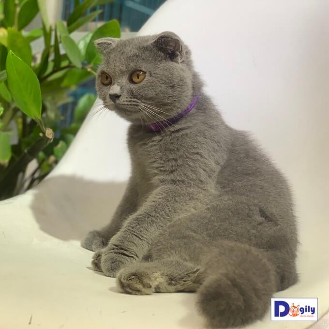 Bán mèo hoàng thượng Scottish tai cụp màu lông xám xanh đáng yêu