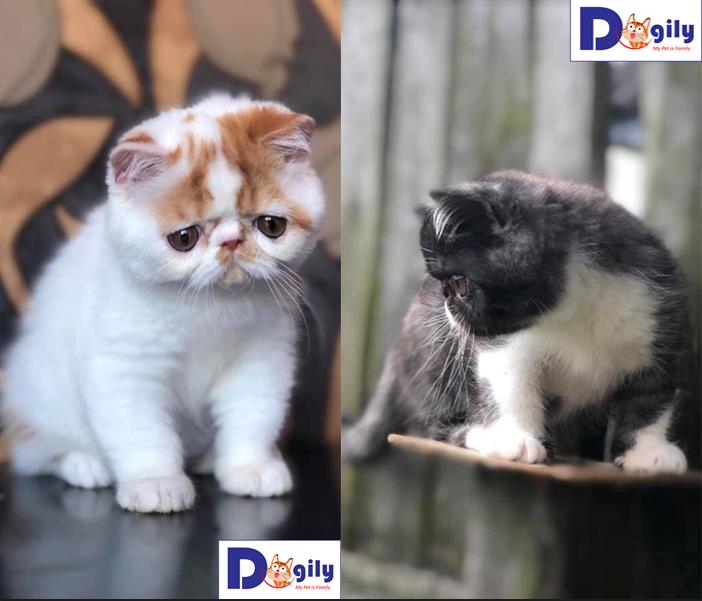 Exotics | Mèo Ba Tư lông ngắn 2 bé có trắng có xám xanh | Tùy chọn nha cả nhà