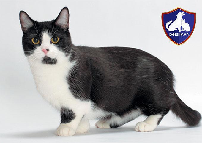 4 chân của mèo Munchkin rất ngắn