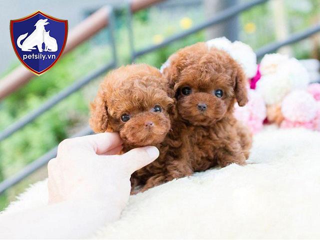 AKC (hiệp hội chó quốc tế) đã chia chó Poodle thành 3 loại chính. Đó chính là Toy Poodle, Miniature Poodle và Standard Poodle.