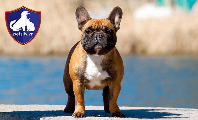 Bảng Giá Tham Khảo Chó Bull Pháp