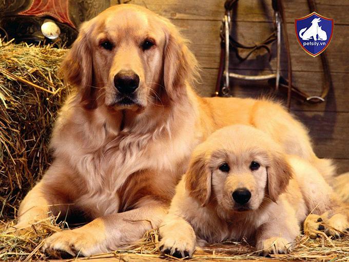 Giá chó Golden phụ thuộc nhiếu yếu tố