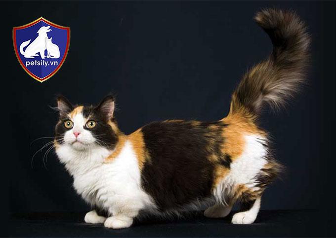 Bộ lông của mèo Munchkin rất mềm và mượt