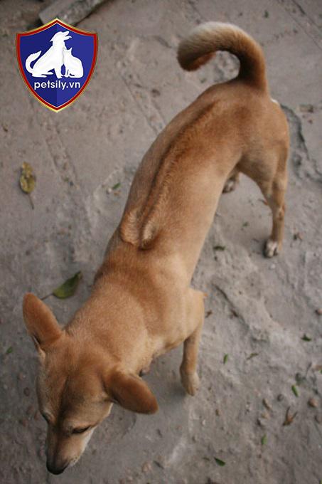 Các chú chó Phú Quốc đều có xoáy lông độc đáo