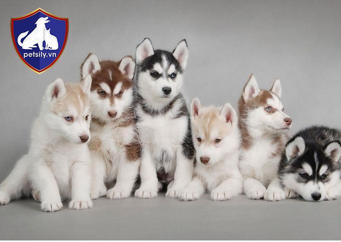 Cập nhật bảng giá chó Husky