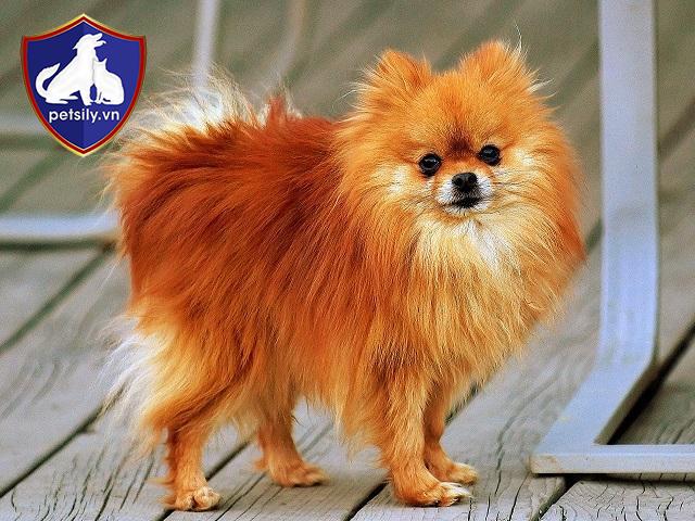 Chó Phốc Sóc là giống chó cảnh có bộ lông vô cùng ấn tượng.