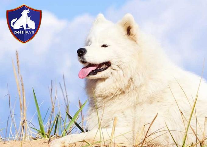 Chó Samoyed trưởng thành có chiều cao trung bình từ 48 đến 60cm