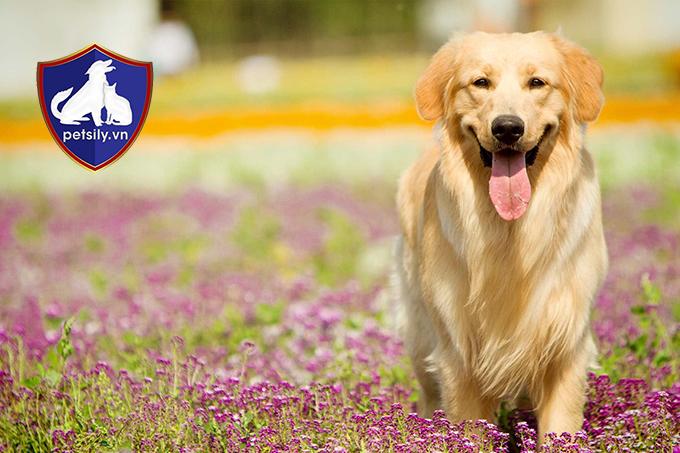 Chú chó Golden Retriever ngây thơ, đáng yêu