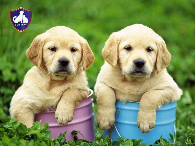 Chú chó Labrador cực đẹp cần người yêu thương