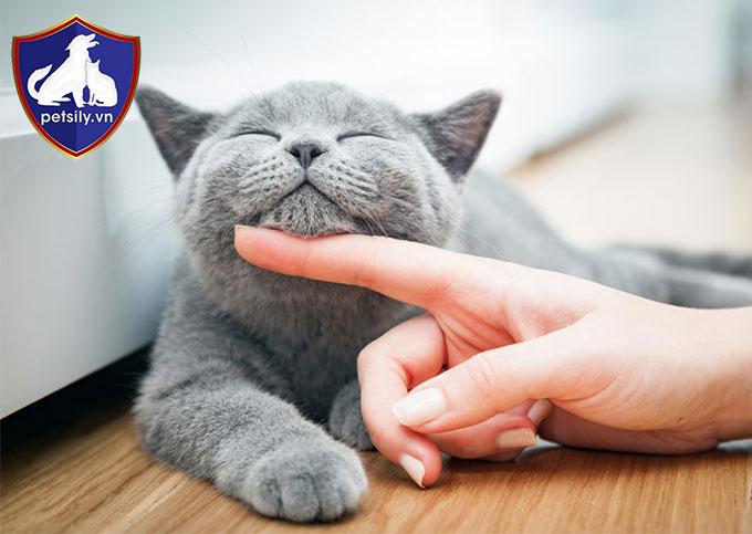 Chú mèo Anh lông ngắn với bộ lông xám đen lạ mắt đang được nhiều con sen săn lùng