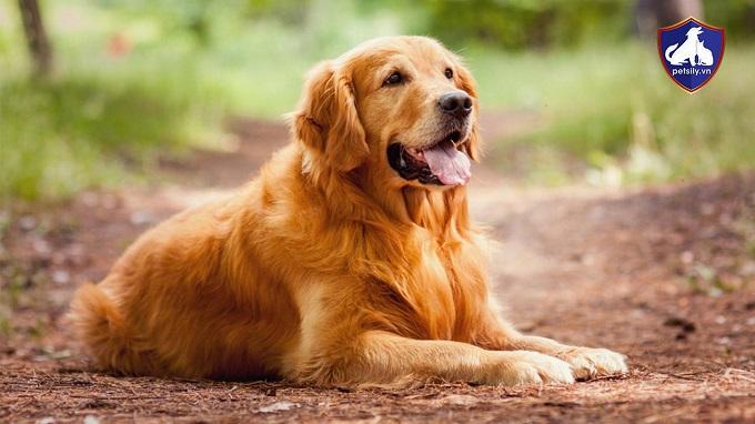 Chú ý chăm sóc hàng ngày cho chó Golden