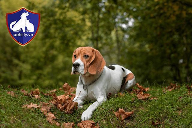 Đặc điểm của Beagle
