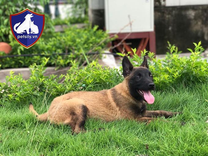 Đặc điểm của chó Béc Bỉ