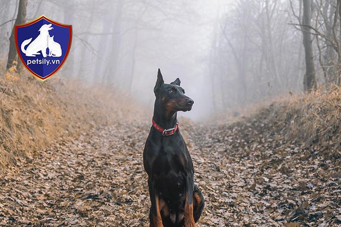Doberman là chú chó canh gác rất tốt