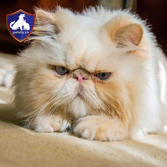 Giá mèo Ba Tư phụ thuộc vào nhiều yếu tố