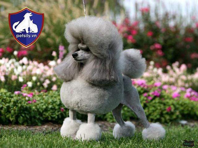 Hơn 400 năm trước đây, những chú Poodle vô cùng nổi tiếng ở Tây Âu.