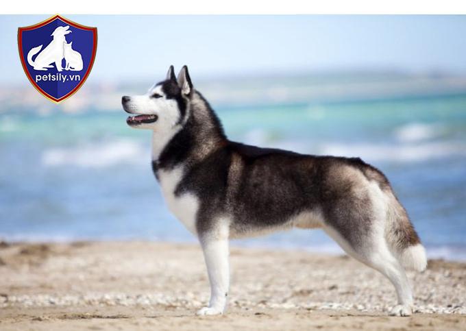 Husky là dòng chó kéo có nguồn gốc từ vùng Đông Bắc Sibir