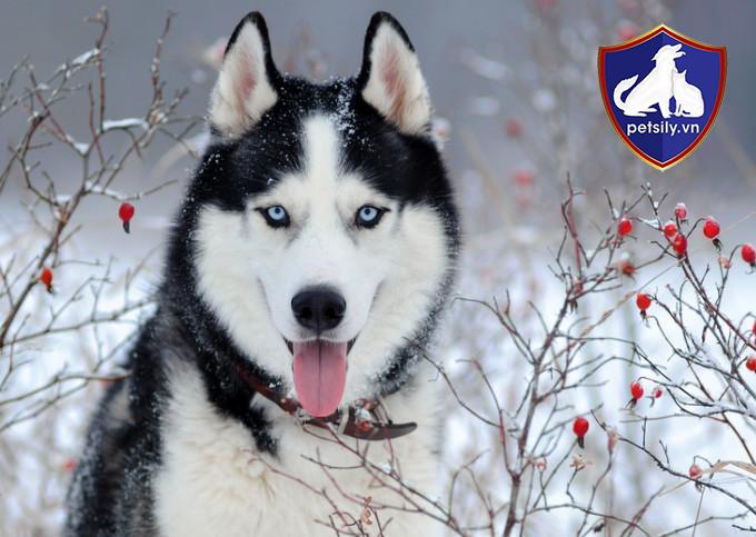 Lông của chó Husky có cấu tạo gồm 2 lớp lông