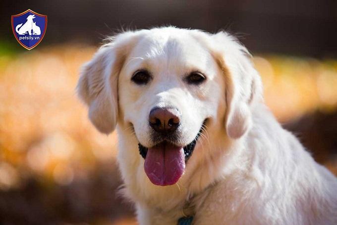 Lưu ý khi mua chó Labrador