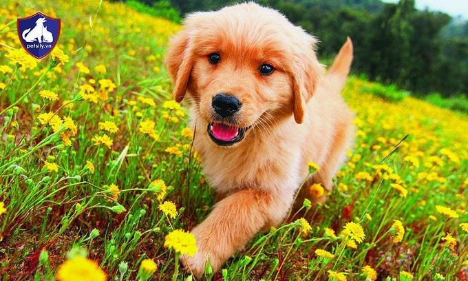Lưu ý khi mua một chú chó Golden Retriever