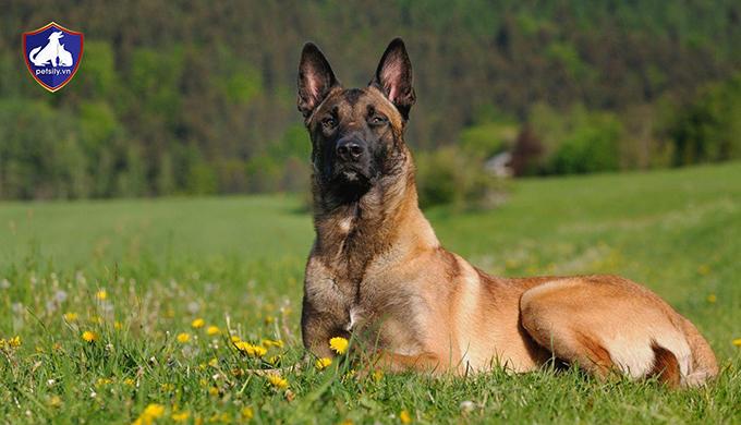 Lý do nên nuôi chó Béc Bỉ Malinois