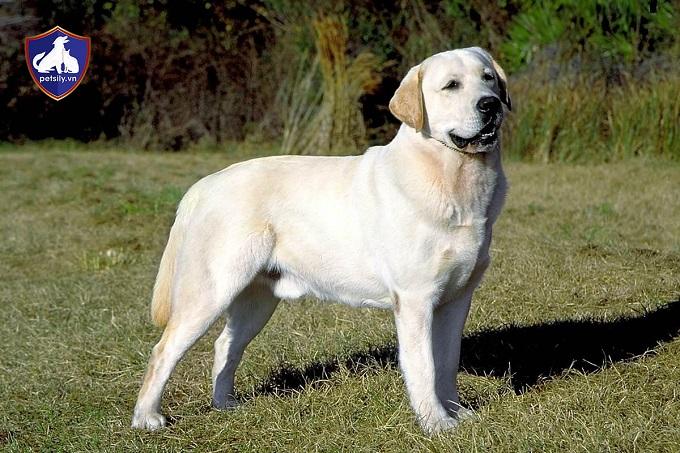 Lý do nên nuôi chó Labrador