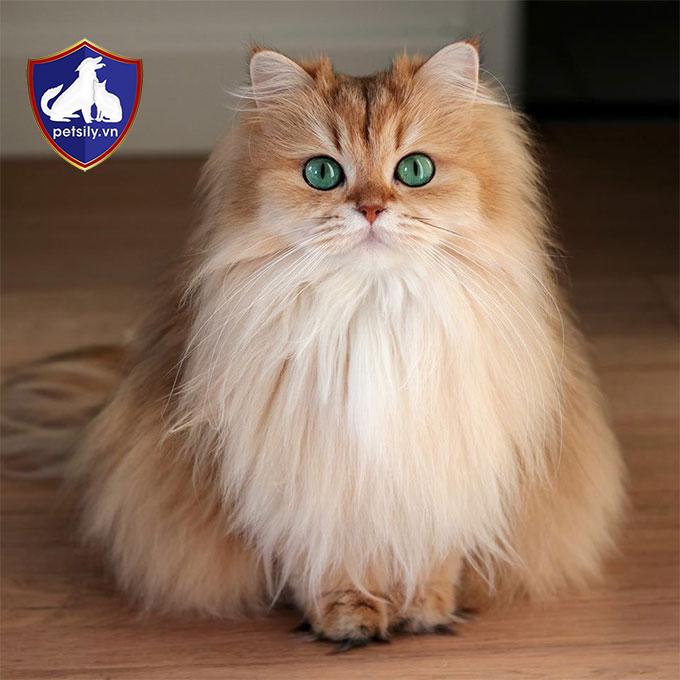 Mèo Anh lông dài sở hữu những nét đẹp lai của mèo Anh thuần chủng và mèo Ba Tư